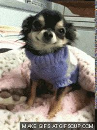 Tired Chihuahua GIF - Find & Share on GIPHY