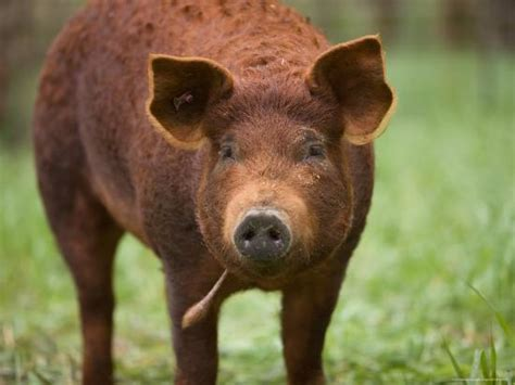 'A Red Wattle Pig on a Farm in Kansas' Photographic Print