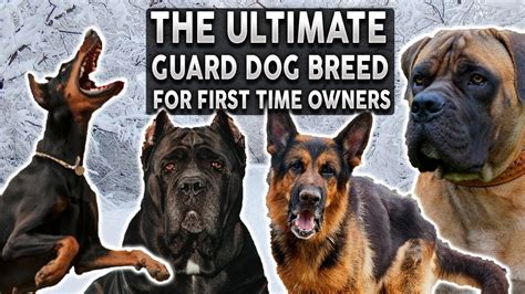 The BEST Guard Dog Breed For First Time Owners!! - YouTube