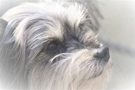 Morkie Puppies for sale in New York