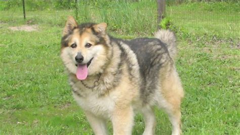 Golden Years Alaskan Malamute Rescue looking for foster homes