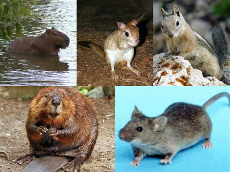 Difference Between Rodents and Lagomorphs   Compare the