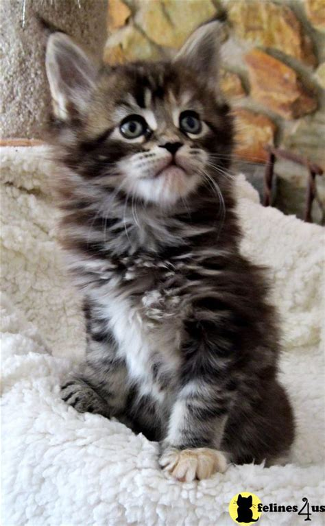 Kitty cats in my life: Maine Coon Cat Breeders Cattery Listing