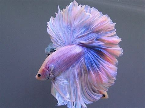 The Colors and Kinds of Betta Fish - XciteFun