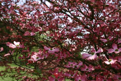 Dogwood Trees: Everything You Ever Wanted to Know