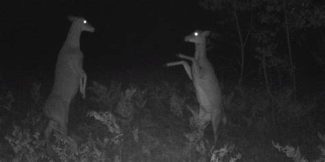 The creepiest fight ever caught on a hunter's trail cam