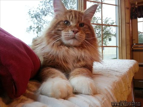The 5-Minute Rule for Maine Coon Breeders Pa   irkincat