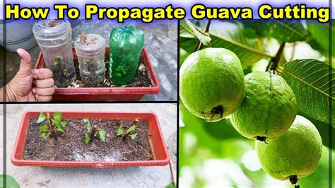 How to Propagate Guava Branch From its Tree || Branch
